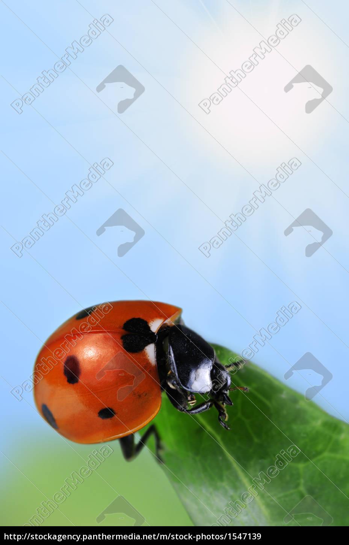 seven-spot, ladybird - 1547139