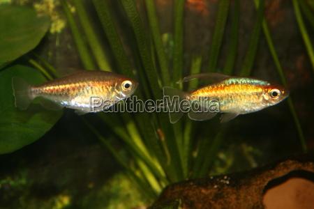 congo salmler freshwater fish