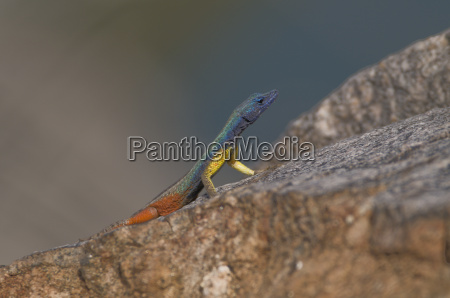 settler agama in the augrabis np