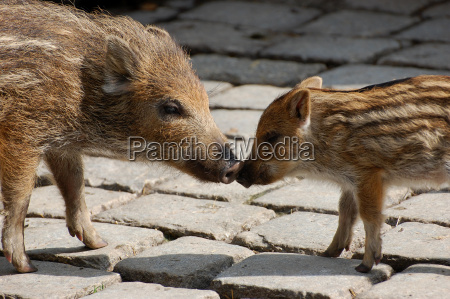 boars touching his nose