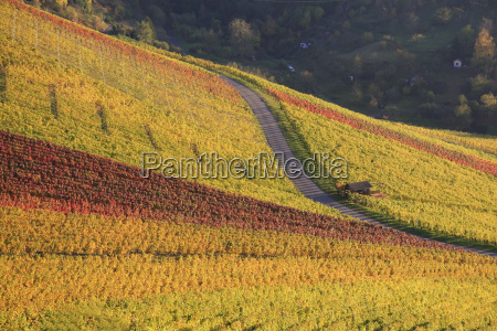 vineyard in october