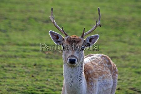 animal wild buck roebuck roe hunting