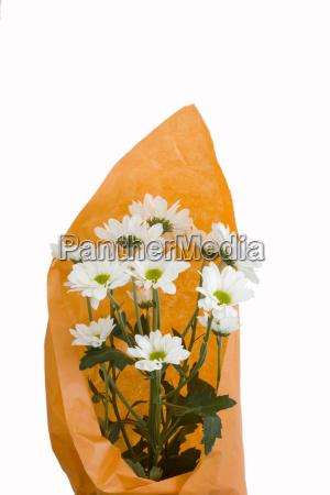 weisse chrysanthemen in orange verpackung