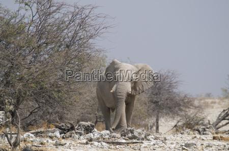 elephant at okaukuejo