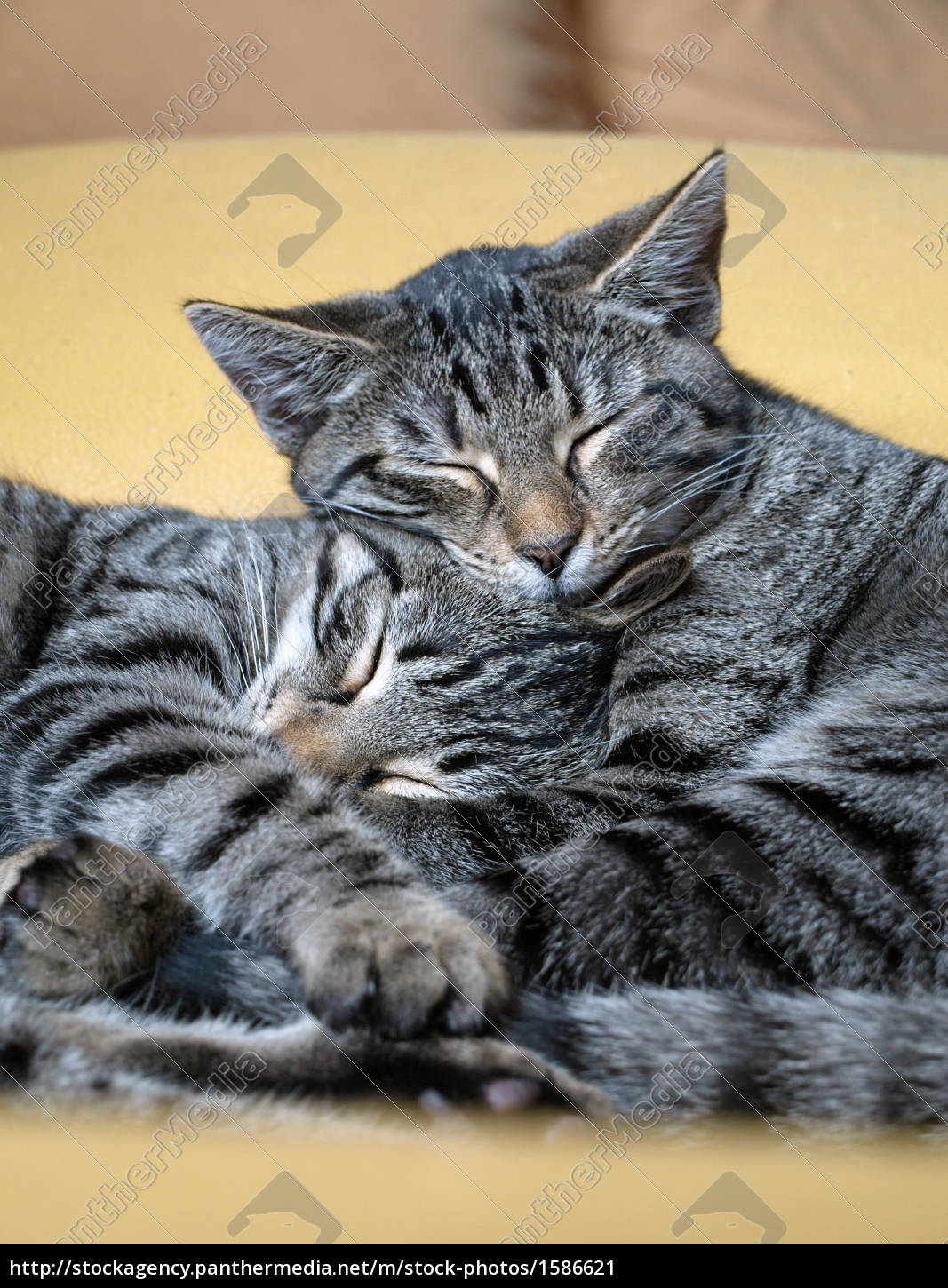Stock Photo 1586621 , cats snuggling