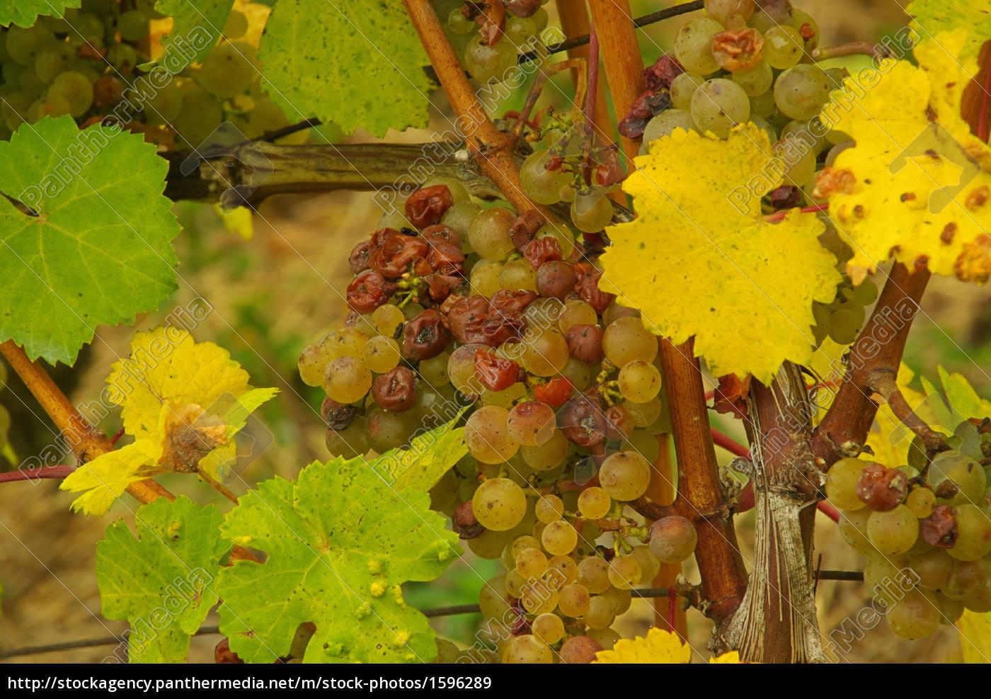wine, -, grape, 43 - 1596289