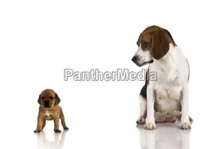 beagle, mom, and, a, brown, puppy - 1598929