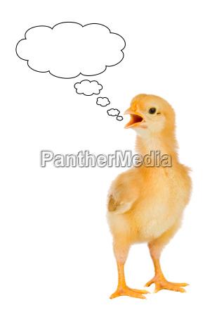 speaking chicken