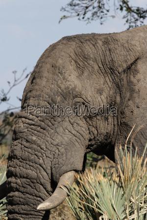 elephant loxodonta africana in the okavango
