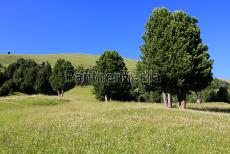 meadows and pine trees in south
