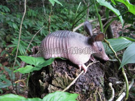 armadillo dasypodidae in the amazon region