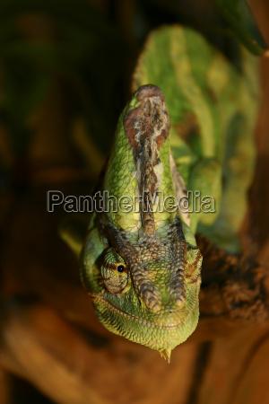 chameleon lady