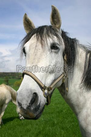 horses pride
