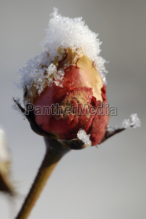 winter, rose - 1649047