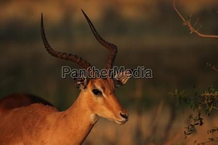 portrait of impalas aepyceros melampus in
