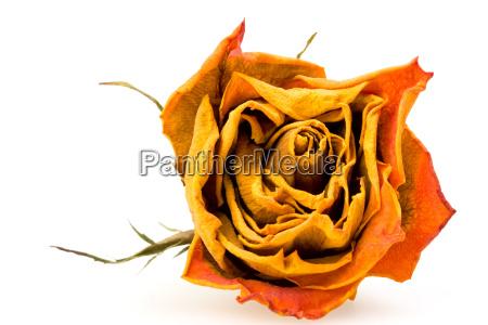nahaufnahme einer getrocknete rote rose auf