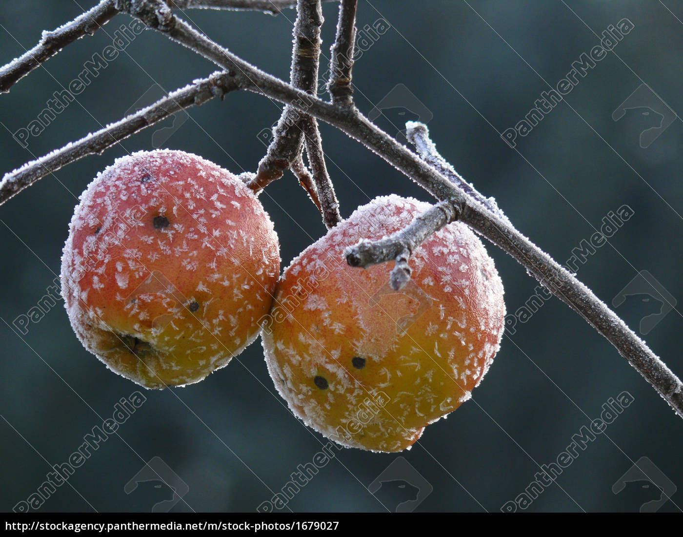 frost, apple - 1679027