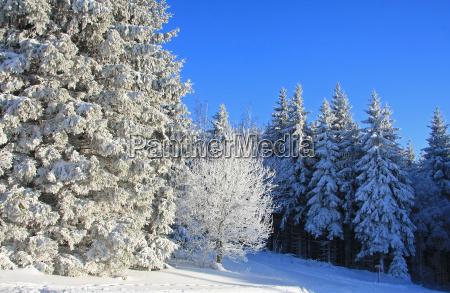 tree trees winter firs firmament sky