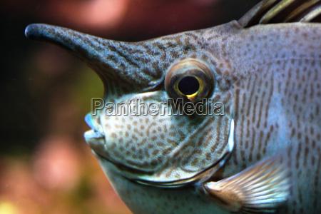 nose fish