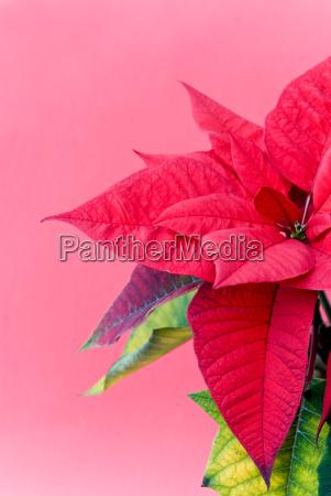 christmas, star, euphorbia, pulcherrima - 1684739