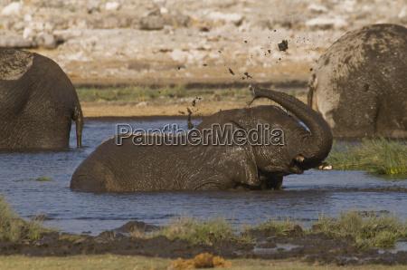 jungle elephantbathing