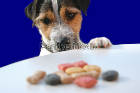 jack, russell, dog, with, leckerlie - 1702185