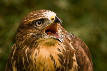 buzzard screaming