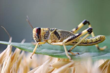 locust anacridium aegyptium