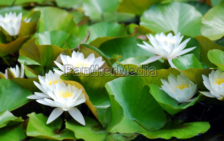 white, water, lily - 1715953