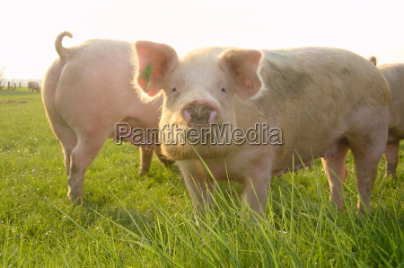 lucky pig on the pasture
