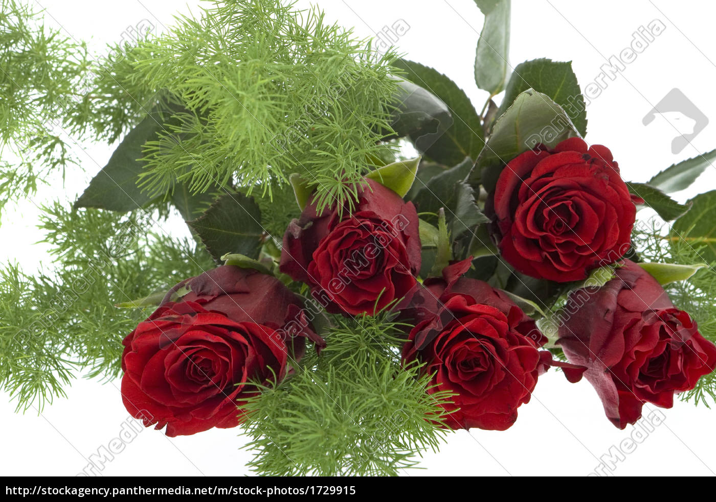 red, roses, against, white, background - 1729915