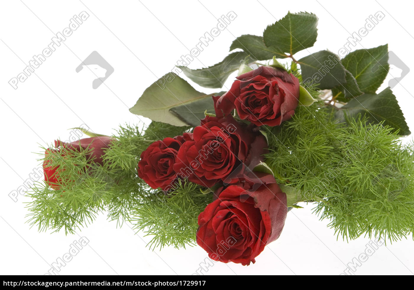 red, roses, against, white, background - 1729917