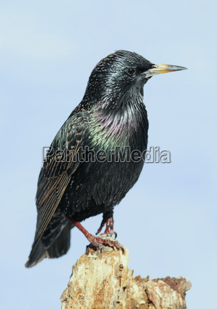 starling, on, stump - 1733325