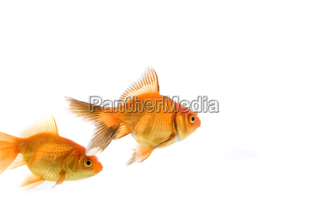 animal, pet, fish, goldfish, nature - 1735061