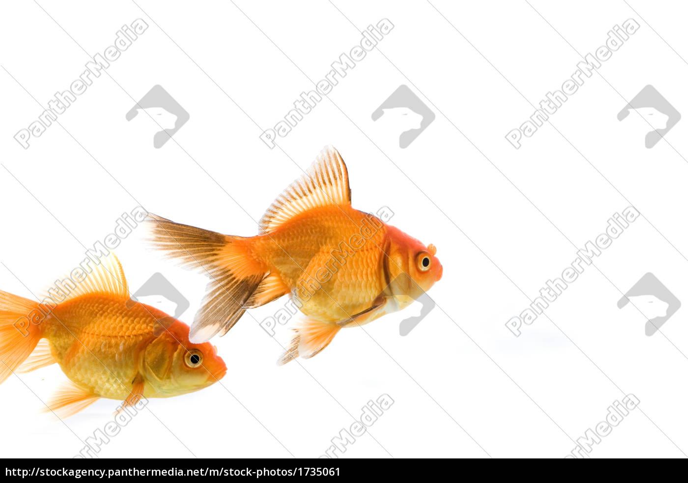 goldfish - 1735061