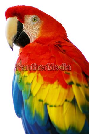 rosso blu ara uccello