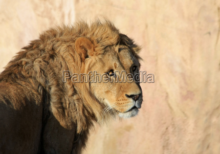 animal male masculine lion cat big