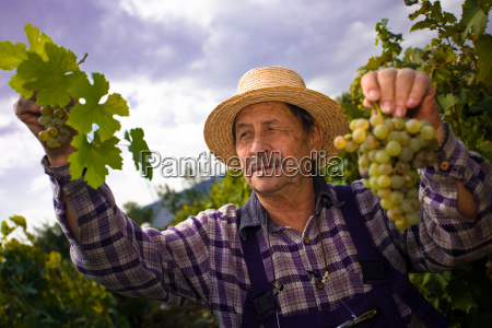 vintner, examining, grapes - 1763423