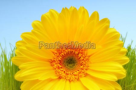 soft, yellow, daisy - 1771081
