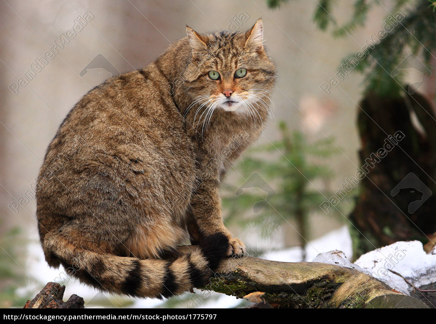 wildcat - 1775797