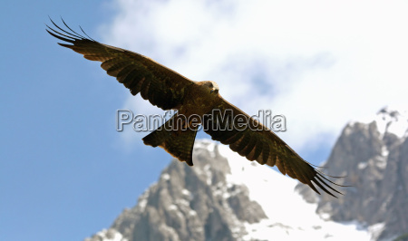 eagle in the alps