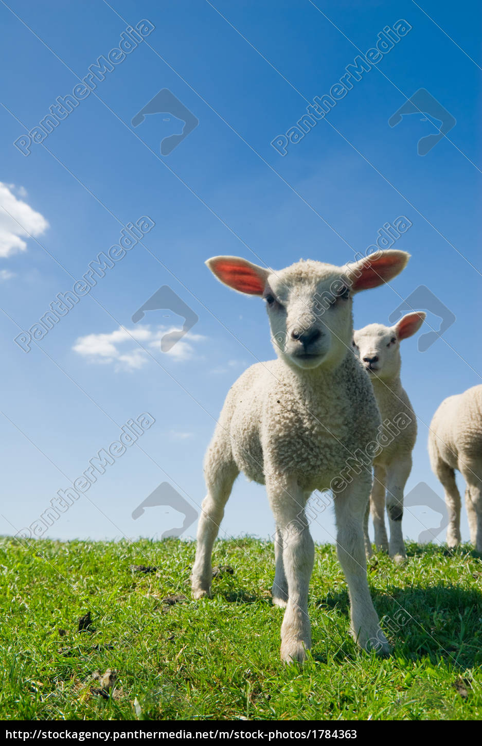 curious, lambs, in, spring - 1784363