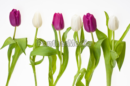 white and violet tulips