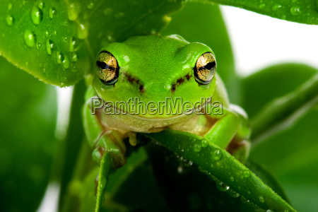 frog, peeking, out, from, behind, leaves - 1793535