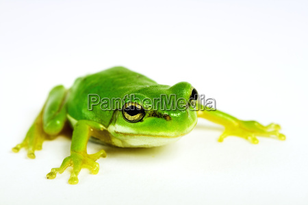 little, tree-frog, on, white, background, - 1793493