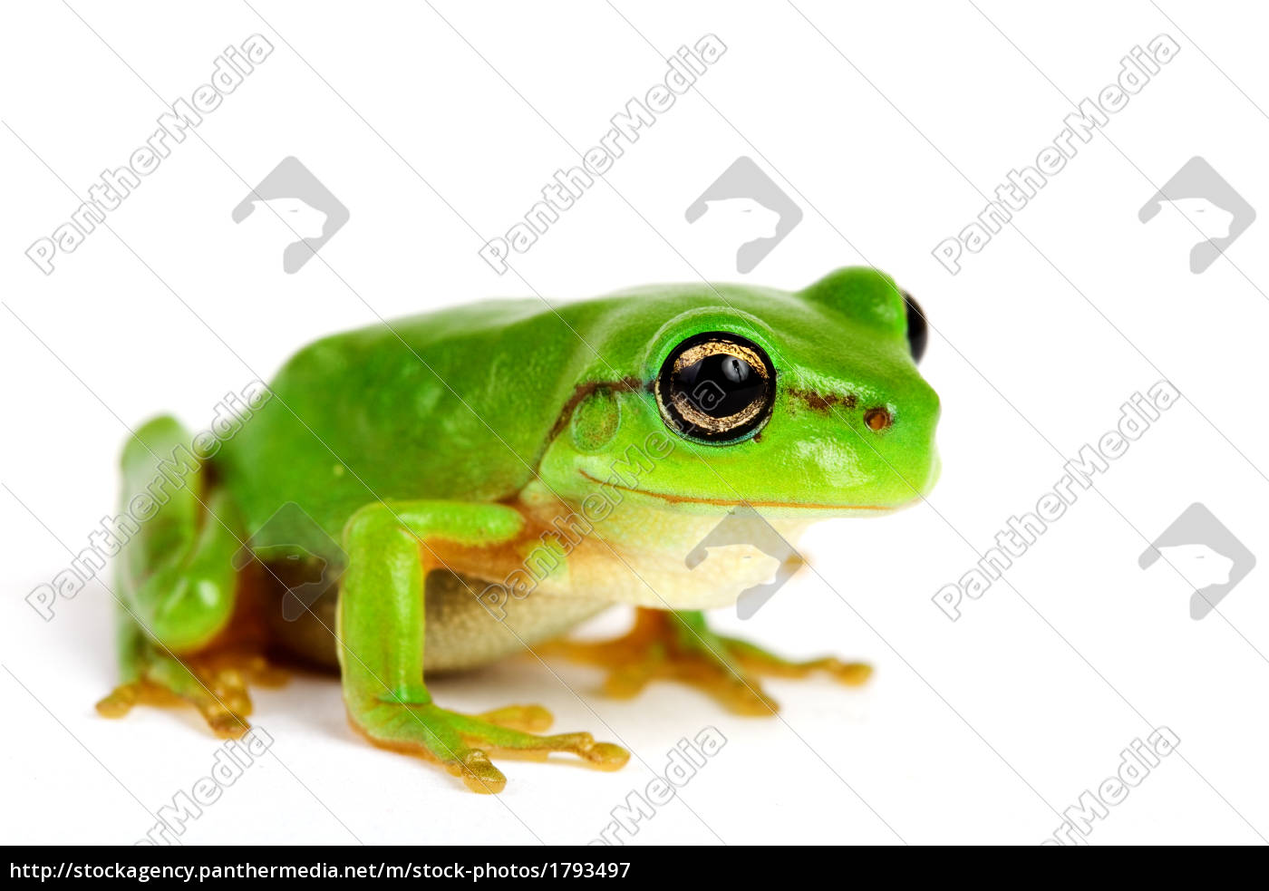 little, tree-frog, on, white, background - 1793497
