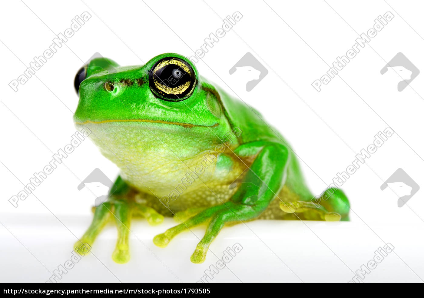 little, tree-frog, on, white, background - 1793505