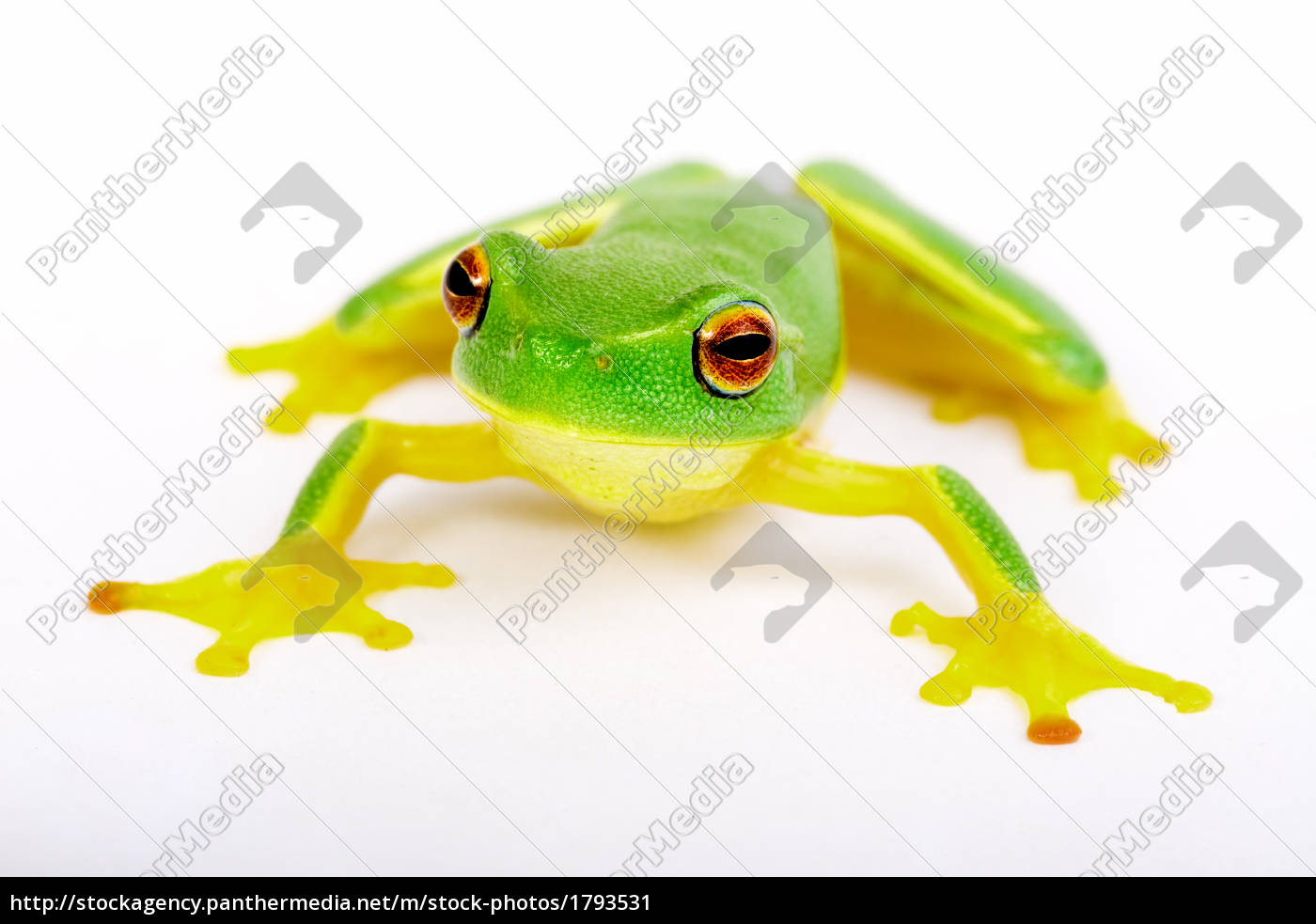 little, tree-frog, on, white, background - 1793531