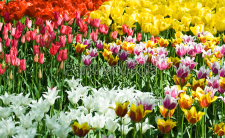 tulips, in, mixed, colors - 1793957