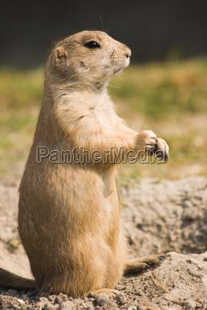 prairie dog standing